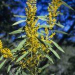 Acacia saliciformis, image Alan Fairley