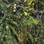 Acacia schinoides, image Alan Fairley