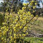 Acacia siculiformis flowers