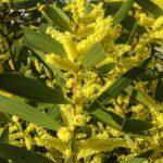 Acacia longifolia ssp sophorae, image Alan Fairley