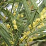 Acacia stricta, image Alan Fairley