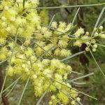 Acacia subulata flowers