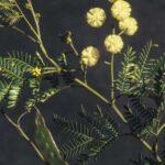 Acacia terminalis, image Alan Fairley
