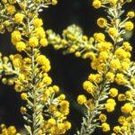 Acacia tindaleae, image Alan Fairley