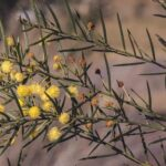 Acacia trinervata, image Alan Fairley