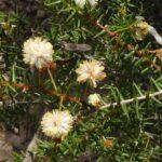 Acacia ulicifolia Prickly Moses