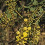 Acacia undulifolia, image Alan Fairley