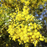 Acacia vestita flowers, image Warren and Gloria Sheather