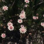 Actinotus forsythii, image Alan Fairley