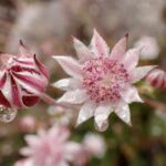 Actinotus forsythii - up close with the pink flannel flower