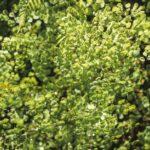 Adiantum aethiopicum, image Alan Fairley