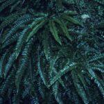 Adiantum hispidulum, image Alan Fairley