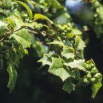 Alchornea ilicifolia, image Alan Fairley