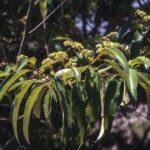 Alphitonia excelsa, image Alan Fairley