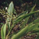 Alpinia caerulea, image Alan Fairley