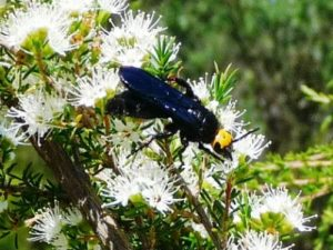 Blue Flower Wasp