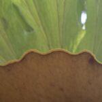 Asplenium australasicum, image Heather Miles