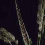 Asplenium attenuatum, image Alan Fairley