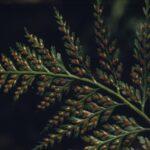 Asplenium bulbiferum var gracillimum, image Alan Fairley