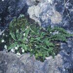 Asplenium trichomanes ssp quadrivalens, image Alan Fairley
