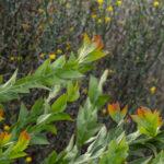 Acacia glaucoptera, image Heather Miles
