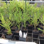 Baeckea imbricata propagated at Sutherland Council Nursery