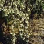 Baeckea linifolia, image Alan Fairley