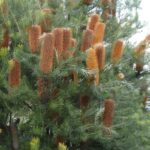 Banksia 'Giant Candles', image Heather Miles