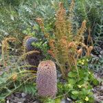 Banksia blechnifolia, image Heather Miles