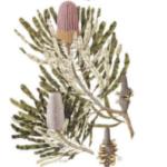 Banksia book