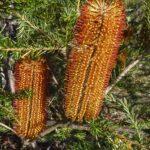 Banksia ericifolia, image Alan Fairley