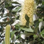 Banksia integrifolia, image Alan Fairley