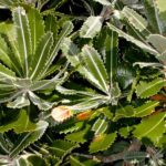 Banksia serrata showing the serrated leaves