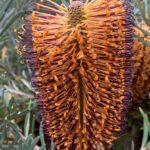 Banksia vincentia, image Catriona Bate