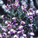 Bauera rubioides, image Alan Fairley