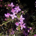 Boronia ledifolia, image Alan Fairley