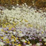 Many daisy species growing together, taken near Merredin, WA