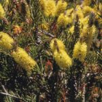 Callistemon pityoides, image Alan Fairley
