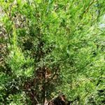 Callitris foliage
