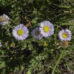 Calotis cuneifolia flowers