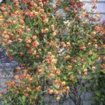 Chorizema cordatum plant, image Jeff Howes