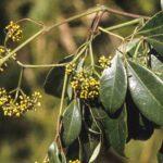 Cissus hypoglauca, image Alan Fairley