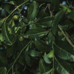 Citronella moorei, image Alan Fairley