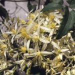 Clematis aristata flowers, image Alan Fairley