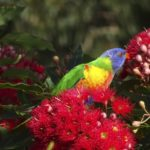 Lorikeets lapping up the delicious nectar from this dwarf eucalyptus flower