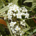 Commersonia salviifolia
