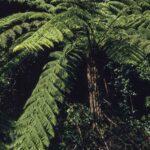 Cyathea australis (plant), image Alan Fairley