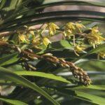 Cymbidium suave flowers, image Alan Fairley