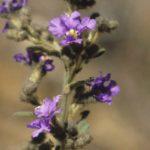 Dampiera purpurea, image Alan Fairley