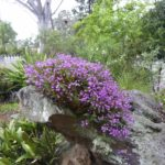 Dendrobium on rock overall, image Jeff Howes